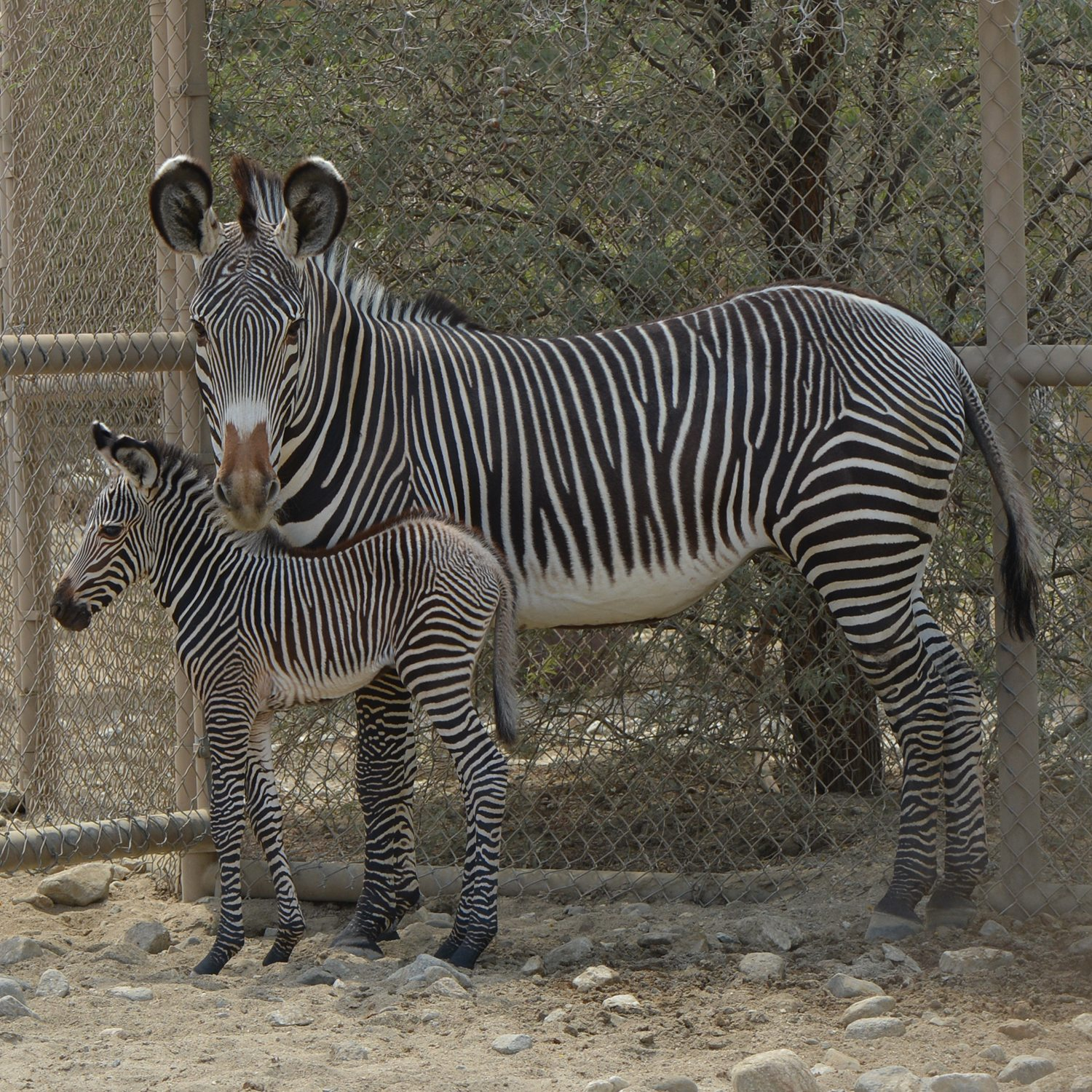 The living desert now has an adorable baby zebra and i can