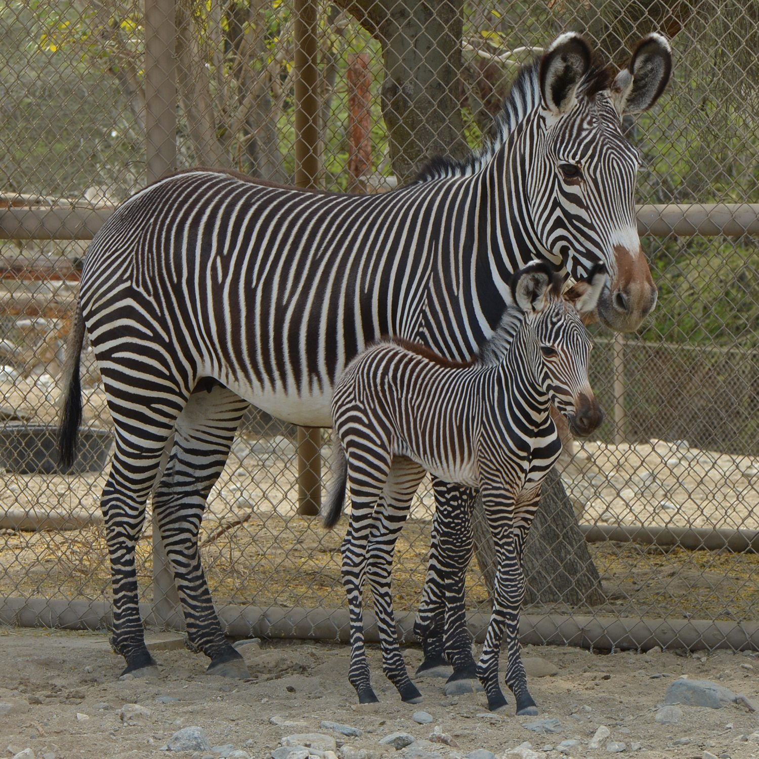 drone facts with The Living Desert Has A Baby Zebra Now And I Cant Even on 201507051024235797 furthermore Akshardham Delhi Facts Pictures besides Hotel Bugifornia Baguio Easter Philippines Travel Writing additionally Honey Bee Presentation Final as well Russia Suspends Agreement With Us On Plutonium Disposal 10284.