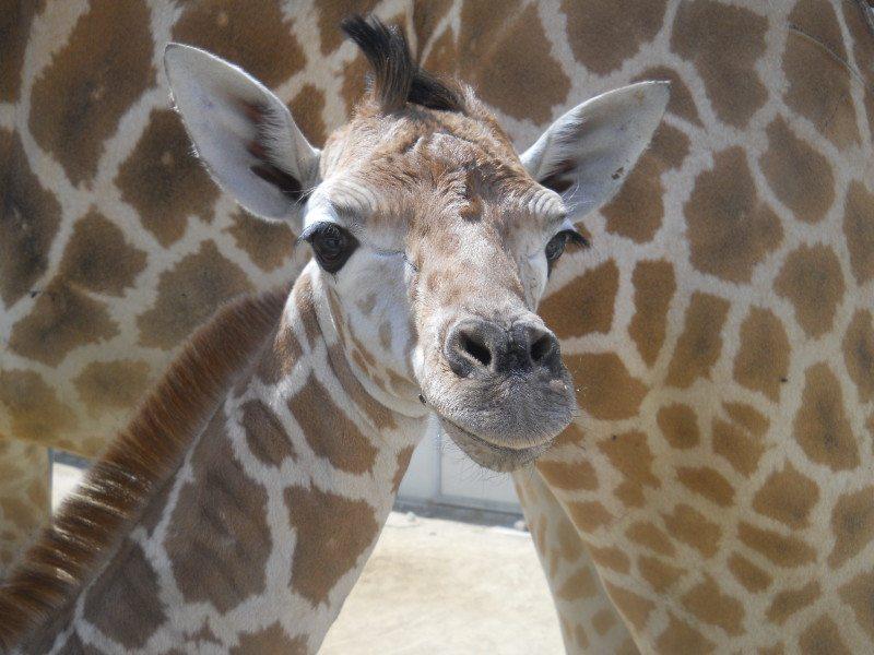 Giraffe calf 07.02.15 1