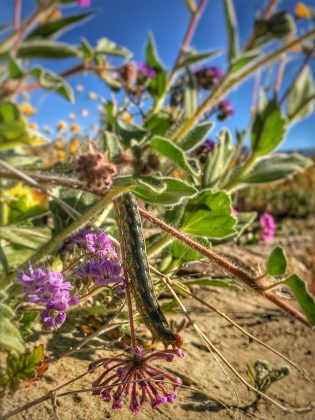 Coachella Valley Preserve in Thousand Palms Super Bloom