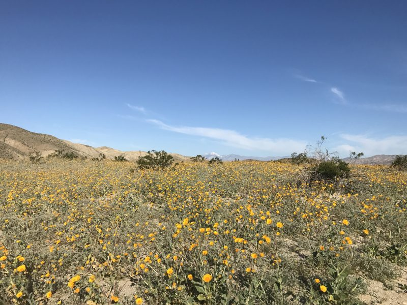 Coachella Valley preserve super bloom
