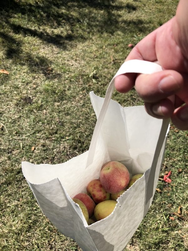 A bag about half full of picked apples