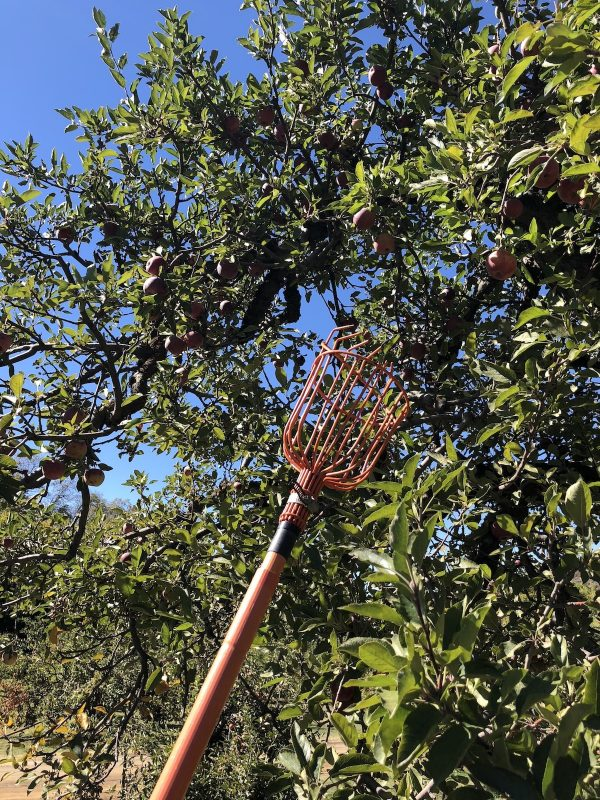 A fruit picker used in Oak Glen California