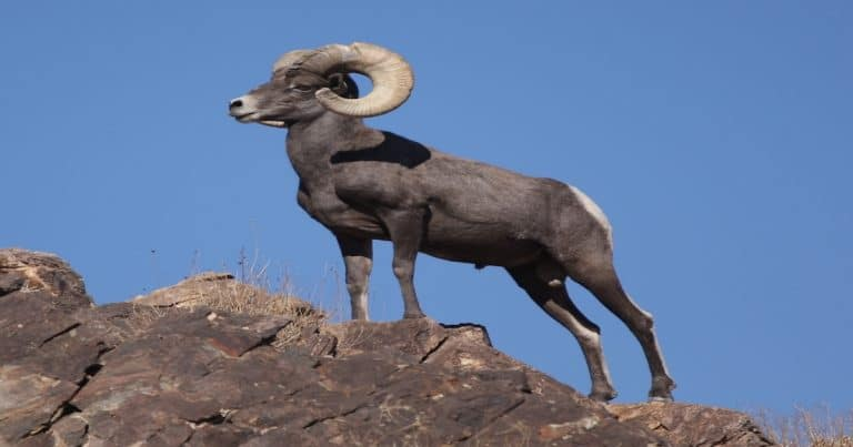 At least 20 bighorn sheep have died from pneumonia in the past few months